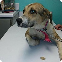 Labrador Retriever/Terrier (Unknown Type, Medium) Mix Dog for adoption in Manchester, New Hampshire - Bonnie
