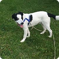 Adopt A Pet :: Scout - Salamanca, NY