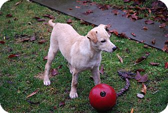 Labrador Retriever/German Shorthaired Pointer Mix Puppy for adoption in Vancouver, British Columbia - Cita