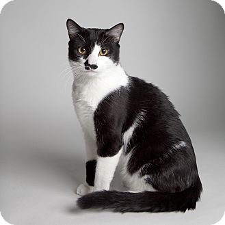 Domestic Shorthair Cat for adoption in Rockaway, New Jersey - Oreo