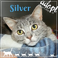 Domestic Shorthair Cat for adoption in Princeton, West Virginia - Silver