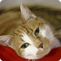 Adopt A Pet :: Tigress Tigress - Chicago, IL
