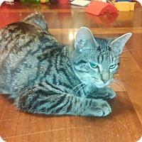 Adopt A Pet :: Bam Bam - St. Louis, MO