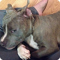 Adopt A Pet :: Sampson - Chattanooga, TN