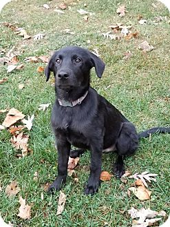 Labrador Retriever Mix Dog for adoption in New Oxford, Pennsylvania - William