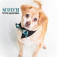 Adopt A Pet :: Scotch - Newport, KY