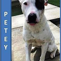 Adopt A Pet :: Petey - Palm Desert, CA