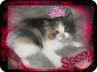 Domestic Longhair Kitten for adoption in Washington, D.C. - Sassy