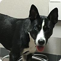 Border Collie Mix Dog for adoption in Houston, Texas - Ollie