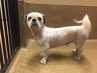 Shih Tzu Dog for adoption in Scottsdale, Arizona - Wilson