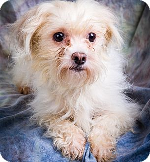 Maltese/Chihuahua Mix Dog for adoption in Anna, Illinois - PERCY