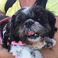 Shih Tzu Dog for adoption in El Cajon, California - Lola