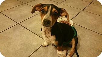 Jack Russell Terrier/Dachshund Mix Puppy for adoption in Mesa, Arizona - LENNY