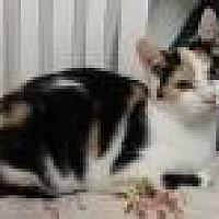Calico Cat for adoption in Stuart, Virginia - Mindy