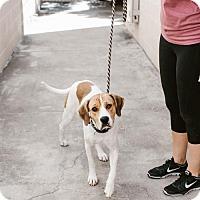 Adopt A Pet :: Lucy - Chino Hills - Chino Hills, CA