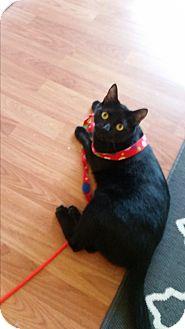 American Shorthair Cat for adoption in Houston, Texas - Zippo