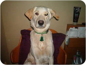 Labrador Retriever Mix Dog for adoption in North Jackson, Ohio - Lady