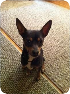 Chihuahua Mix Dog for adoption in Mesa, Arizona - Blake