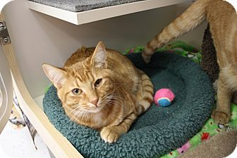 Domestic Shorthair Cat for adoption in Fountain Hills, Arizona - Curtis