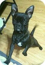 French Bulldog/Boston Terrier Mix Puppy for adoption in Columbus, Ohio - Frenchie