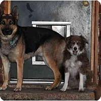 Adopt A Pet :: Dakota - Hamilton, MT