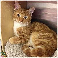 Adopt A Pet :: O'REILLY aka PUMPKIN - Hamilton, NJ