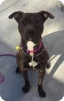 Terrier (Unknown Type, Medium) Mix Dog for adoption in Breinigsville, Pennsylvania - Isis