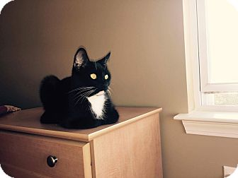 Domestic Shorthair Cat for adoption in Charlotte, North Carolina - Blackie