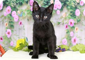 Domestic Shorthair Kitten for adoption in Sterling Heights, Michigan - Ralphie