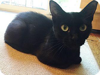 Domestic Shorthair Cat for adoption in St. Louis, Missouri - Clarabelle