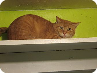 Domestic Shorthair Cat for adoption in Coos Bay, Oregon - Keegan