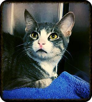 Domestic Shorthair Kitten for adoption in Los Alamitos, California - Squidward