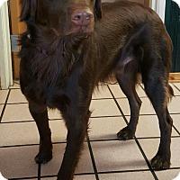 Adopt A Pet :: Armani - Las Vegas, NV