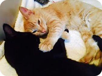 Domestic Mediumhair Cat for adoption in Anchorage, Alaska - Jasper