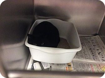 Domestic Shorthair Cat for adoption in Janesville, Wisconsin - Ms Marple