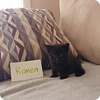 Adopt A Pet :: Raven - Media, PA
