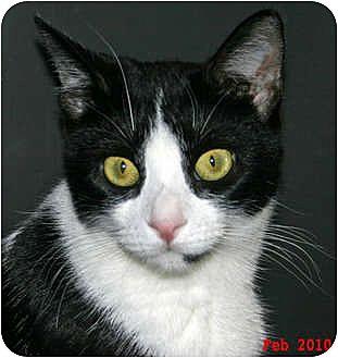 Domestic Shorthair Cat for adoption in Encino, California - ELIZABETH