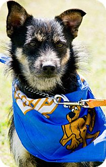 Jack Russell Terrier/Cattle Dog Mix Dog for adoption in Dumfries, Virginia - Huck