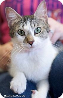 Domestic Shorthair Cat for adoption in Chattanooga, Tennessee - Ariel