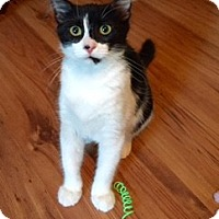 Domestic Shorthair Cat for adoption in Southlake, Texas - Petunia - Courtesy Listing