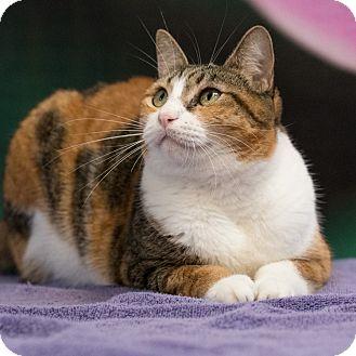 Domestic Shorthair Cat for adoption in Houston, Texas - Kali