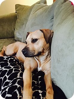 Rhodesian Ridgeback/American Staffordshire Terrier Mix Dog for adoption in Copperas Cove, Texas - Ayala