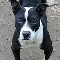 Pit Bull Terrier Dog for adoption in Memphis, Tennessee - Sarah