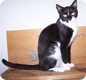 Domestic Shorthair Cat for adoption in Colorado Springs, Colorado - Lulu
