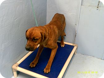 Boxer/Mastiff Mix Dog for adoption in Dundas, Virginia - Buster - Facing Death