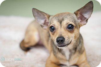 Chihuahua Puppy for adoption in Hilliard, Ohio - Cierra