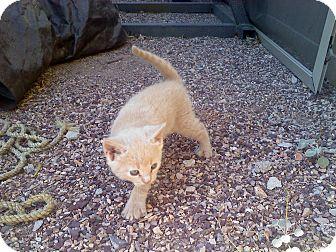 Domestic Shorthair Kitten for adoption in Fountain Hills, Arizona - CLARK