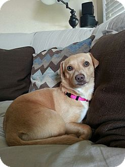 Dachshund/Chihuahua Mix Puppy for adoption in Monrovia, California - Gracie