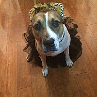 American Staffordshire Terrier Mix Dog for adoption in Whitestone, New York - ROXIE