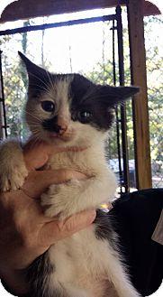 Domestic Shorthair Kitten for adoption in Asheboro, North Carolina - Clark